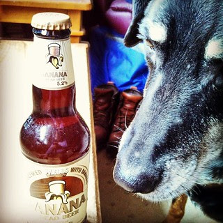 Lola hopes you all enjoy your favorite brew on St Pattys Day! #dogstagram #instadog #dobermanmix #dobiemix #BananaBread #beer