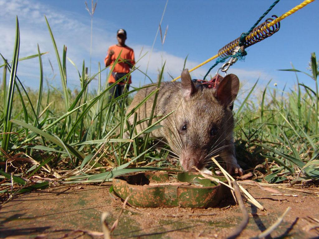 Ratazanas estão salvando um monte de vidas da maneira mais surpreendente 06