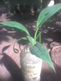 Membuat bibit pisang dari biji