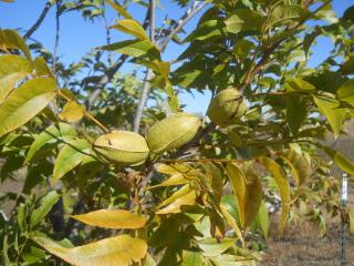 Pecans on Tree