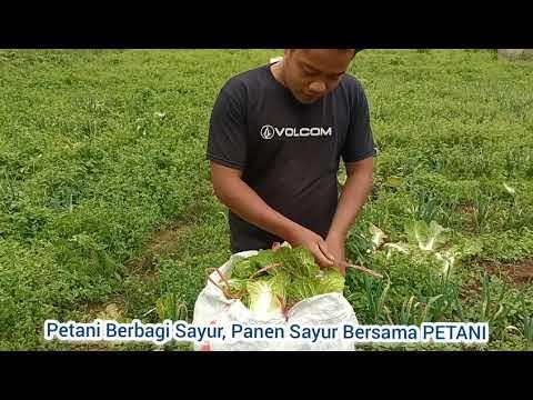 Panen Sayur Petani Kanreapia dan Relawan Untuk Program Sedekah Sayur