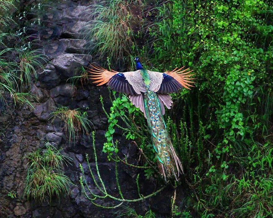 pavos-reales-volando (2)