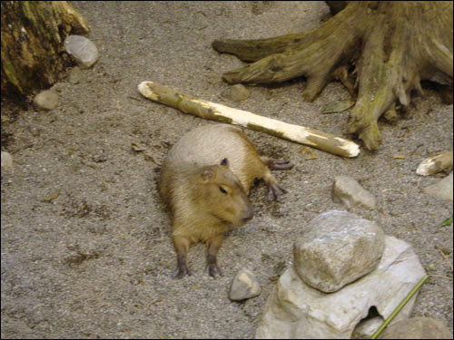 Montreal Biodome: Capybara