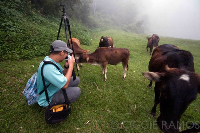 Sagada - Lake Danum Ironwulf and Cows