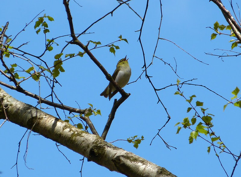 P1040912 - Wood Warbler, RSPB Dinas