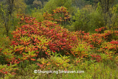 Red Sumac in Autumn, Richland County, Wisconsin