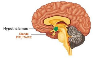 hypothalamus_redimentionn_