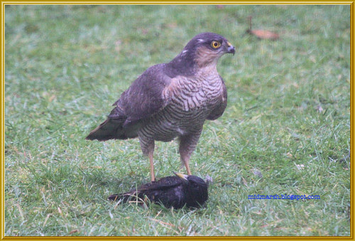 Sparrowhawk and Starling