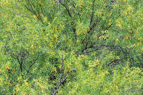 Velvet Mesquite in Spring, Sonoran Desert, Arizona