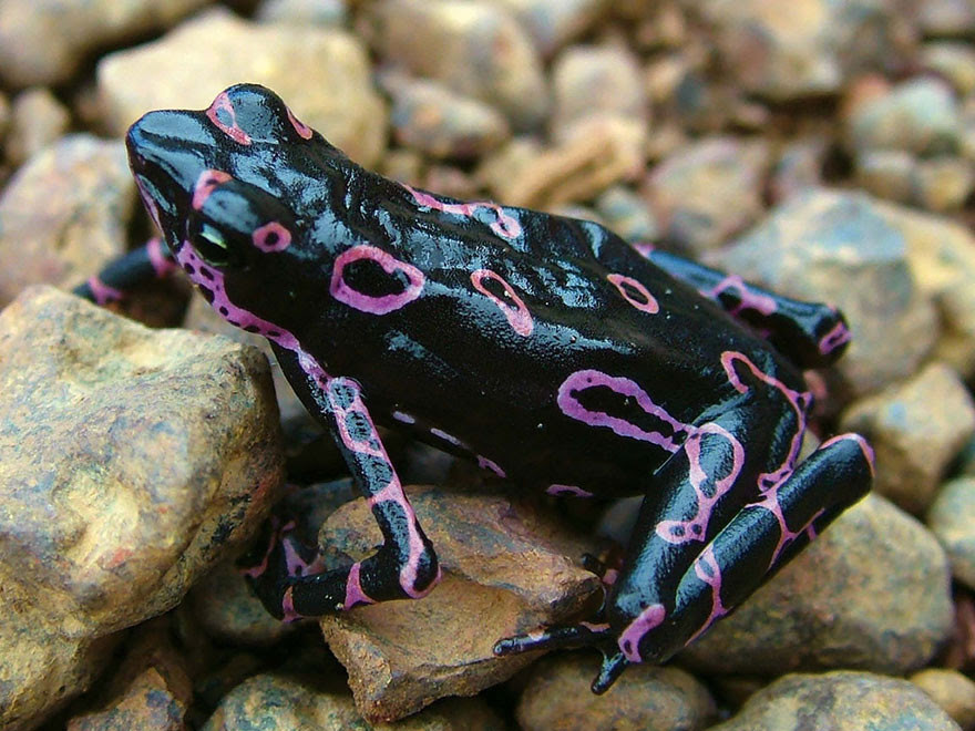13. atelopus toad frog selection