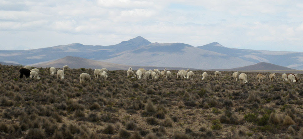 altiplano alpacas