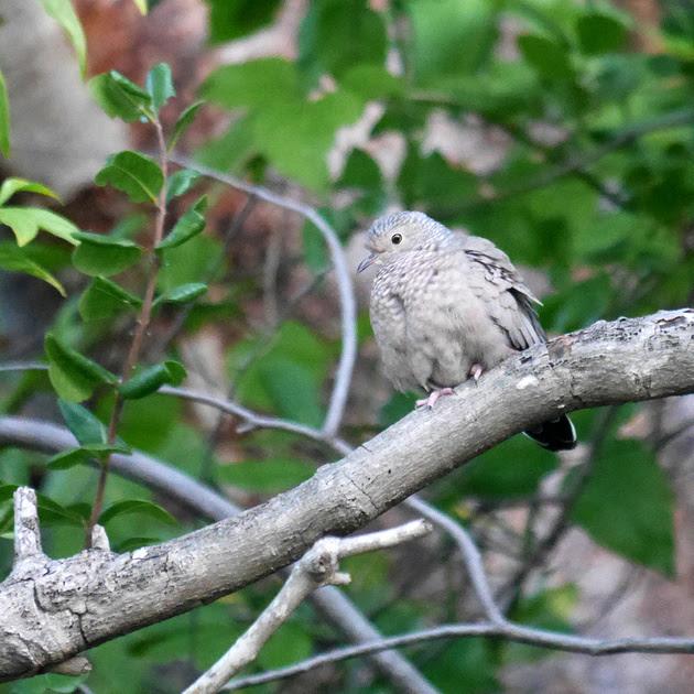 Ed Gaillard: birds &emdash; Common Ground Dove, New Providence, Bahamas