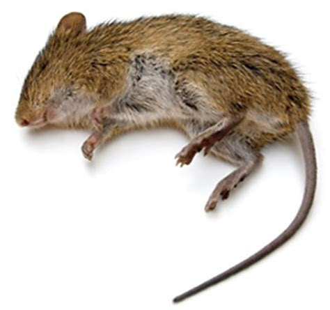Rats   How To Kill and Get Rid of Rats