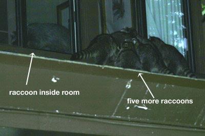 Raccoons Breaking Into Lodge