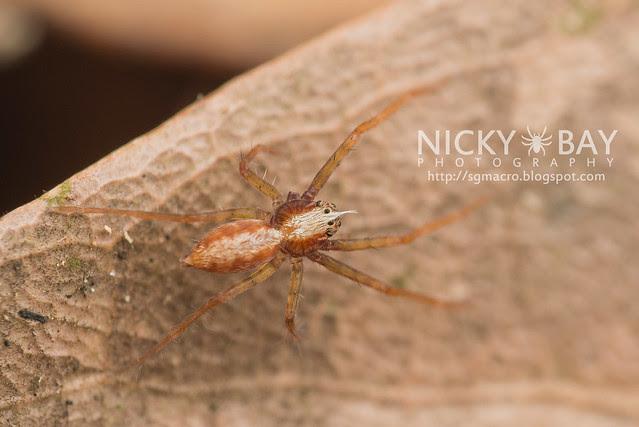 Nursery Web Spider (Pisauridae) - DSC_5162