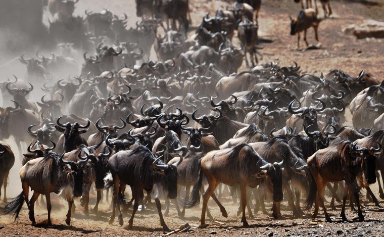 A wildebeest herd is pictured on September 13, 2016 during the annual wildebeest migration in the Masai Mara game reserve. (Carl de Souza/AFP/Getty Images)