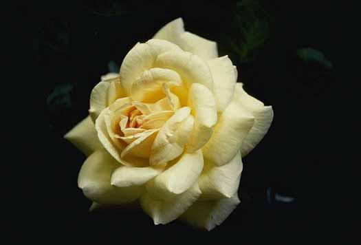 Cultivo Una Rosa Blanca Por Jose Marti