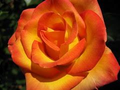 Bronze Rose I