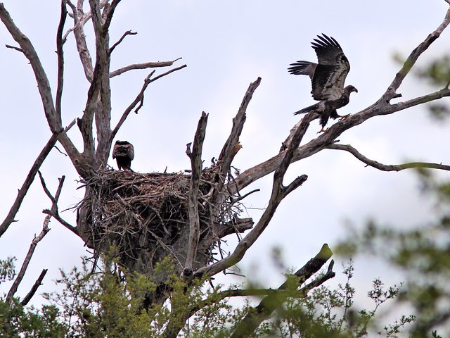 Bald Eagle juveniles at nest 20130414