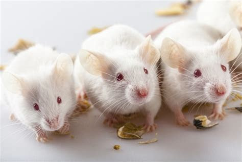 Research in mice suggests diabetes drugs could slow down Alzheimer?s   Spectator Health