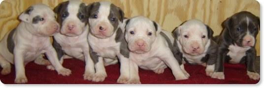 http://www.baddestasspitbulls.com/images/pit_bull_puppy.jpg