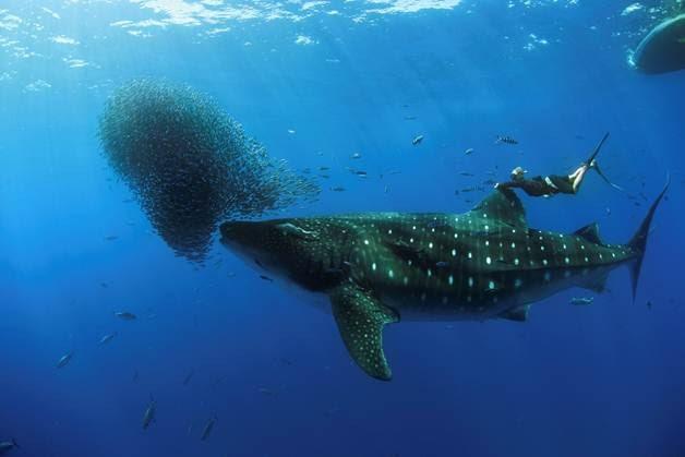Martin Wilke 'pega carona' em maior peixe do mundo (Foto: Nuno Sá/Barcroft)