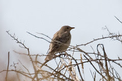 190-062-IMG_0175 Rose-coloured Starling (Pasto...