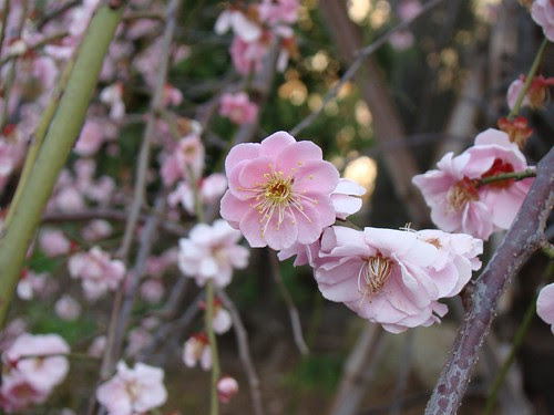 A Perfectly Formed Plum Blossom by Rekishi no Tabi
