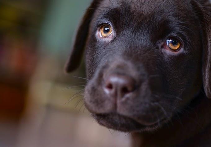 Características, cuidados y comportamiento del cachorro labrador