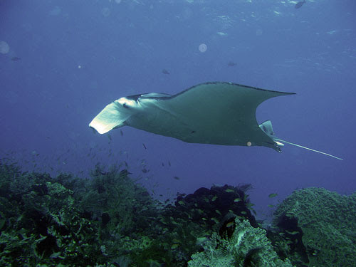 Manta Ray Diving  Indonesia