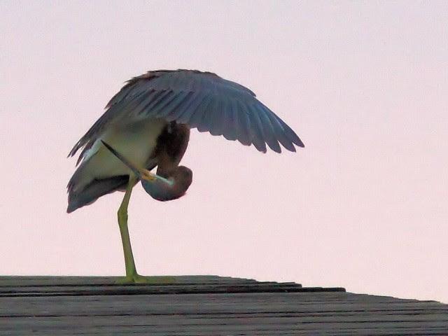 Tricolored Heron landing 05-20131020