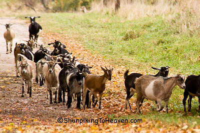 Calling the Goats Home, Sauk County, Wisconsin