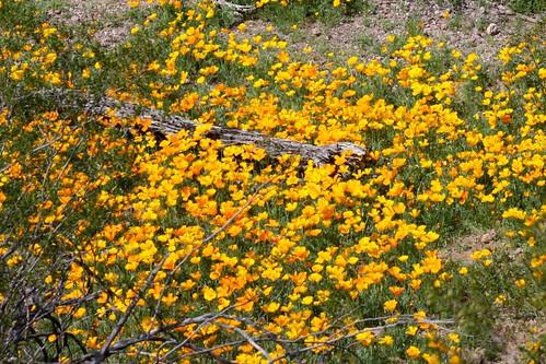 Spring Poppies in Saguaro