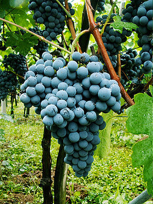 Graps of Slovenian Red Wine Variety Zametovka