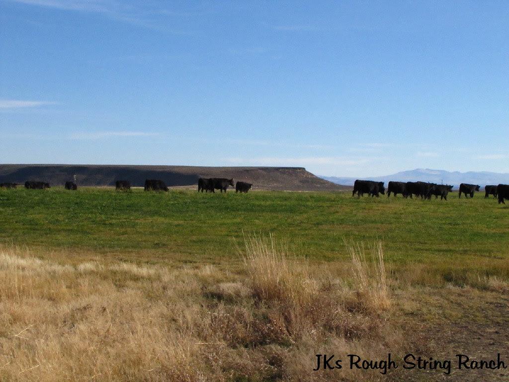Heifers on the Pivot