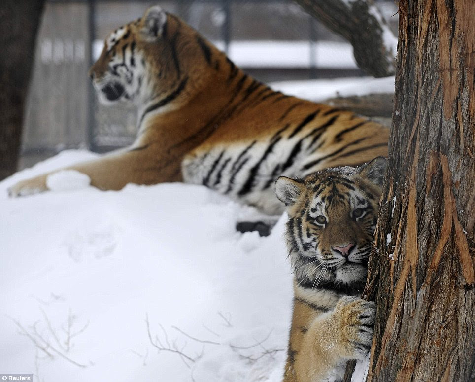 An 18-month-old Siberian tiger plays in the winter snow at Skopje zoo