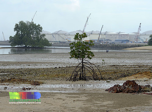 Mangroves on Pulau Hantu
