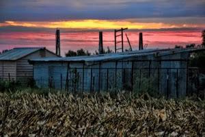 cornfields cut down 005 (640x427)