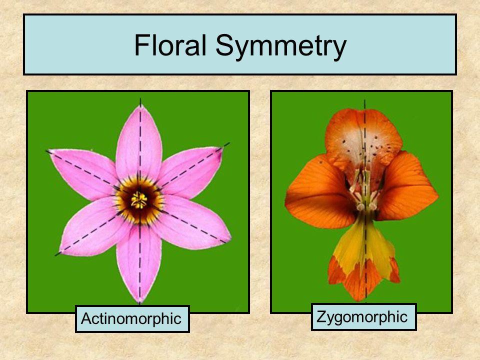Floral+Symmetry+Actinomorphic+Zygomorphic