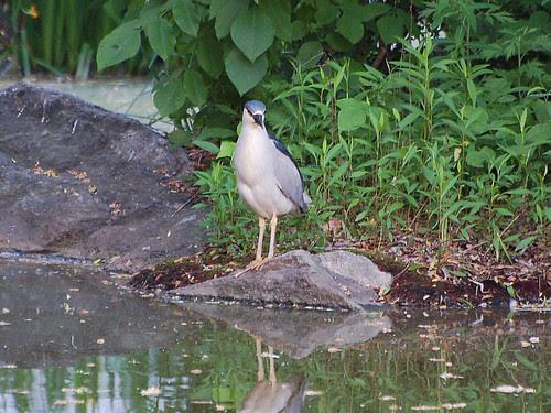 Morningside Heron