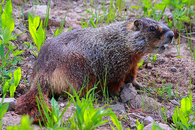 IMG_9635 Yellow-Bellied Marmot, Yellowstone National Park