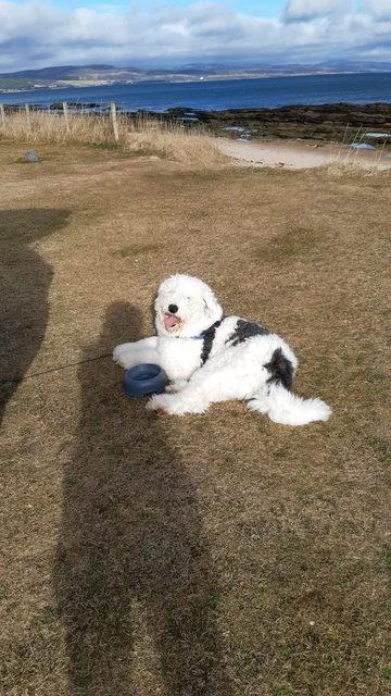 Pebbles – 2 year old female Old English Sheepdog cross Newfoundland