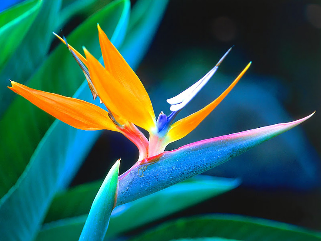 About Bird Of Paradise Bloomnation Blog