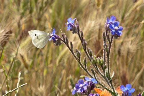 Mariposa en Anchusa azurea