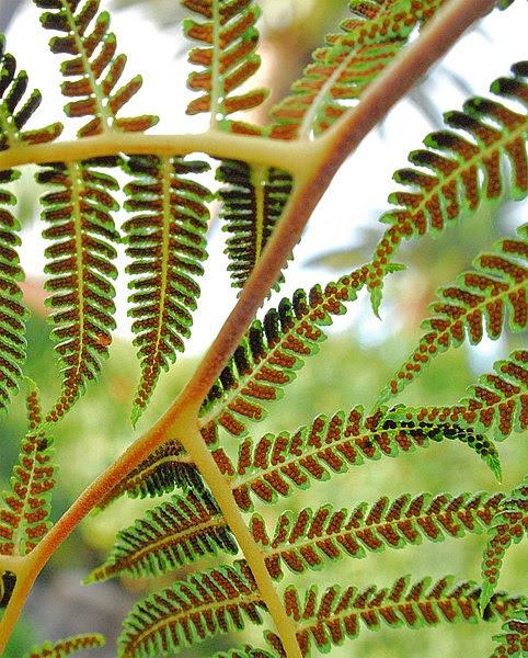 File:Tree Fern Spores.jpg