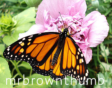Danaus plexippus-Monarch Butterfly