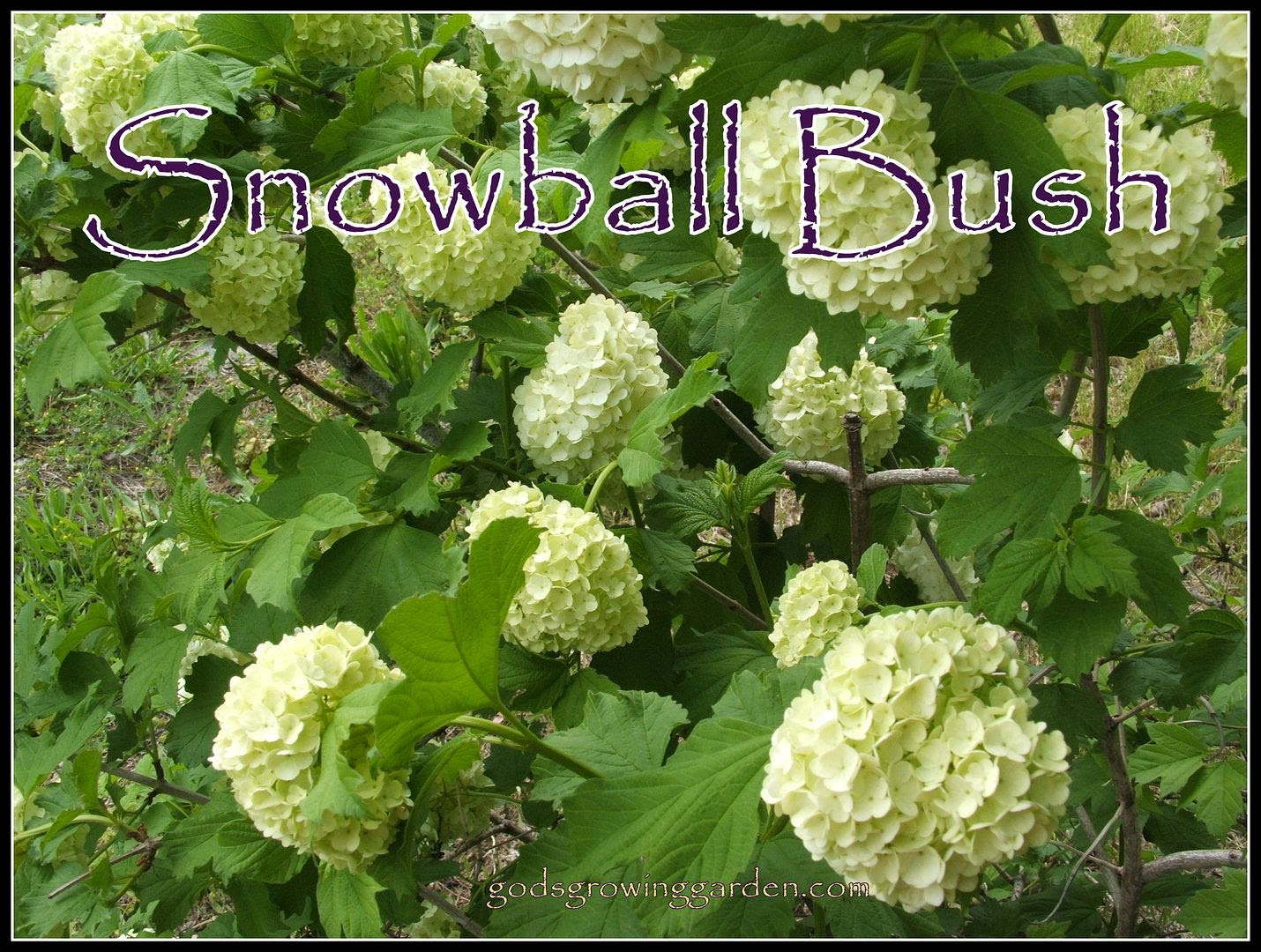 Snowball Bush by Angie Ouellette-Tower for godsgrowinggarden.com photo 008_zpsfea860a1.jpg