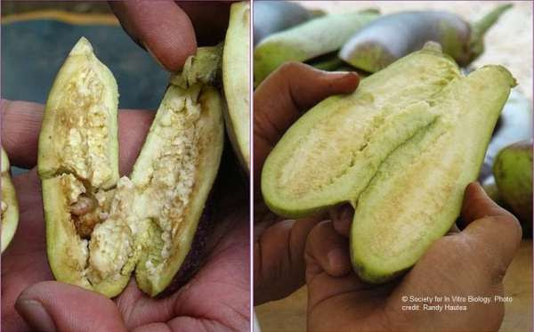 Pest-laden eggplant (left), Bt eggplant is clean (right)