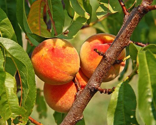 Peaches!