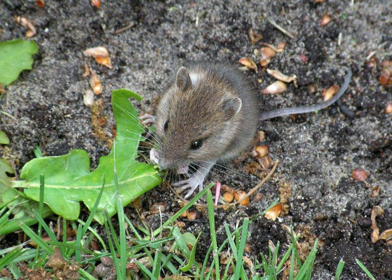 File:Mouse eating leaf.JPG